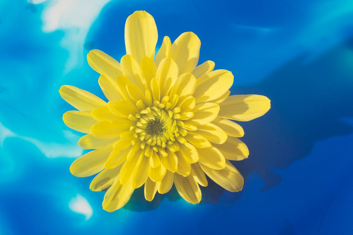 Bright yellow blossom on blue background