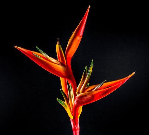 Безкоштовне стокове фото на тему «барвистий, квітка, райські птахи, стреліція»