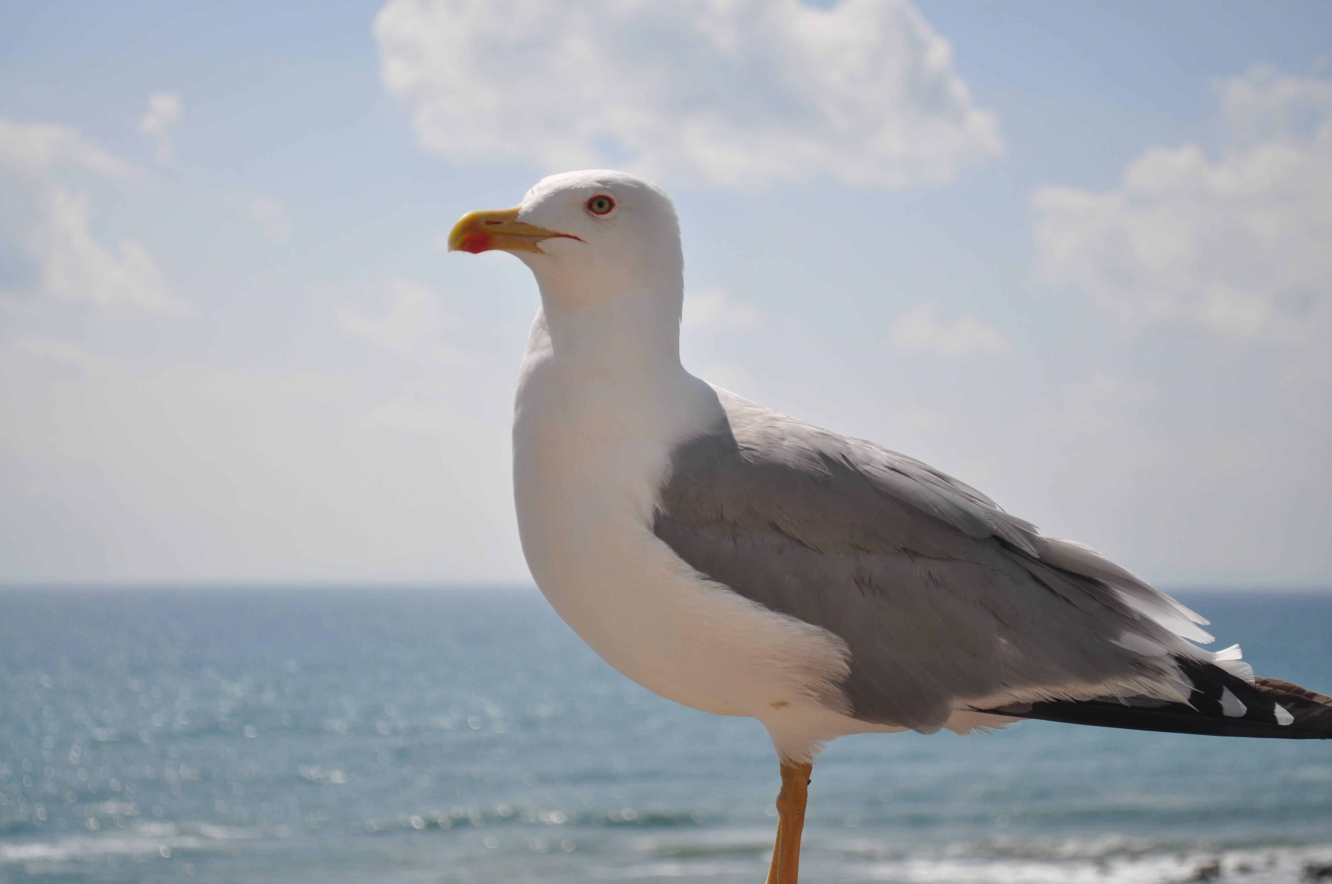 Free stock photo of gull, seagull