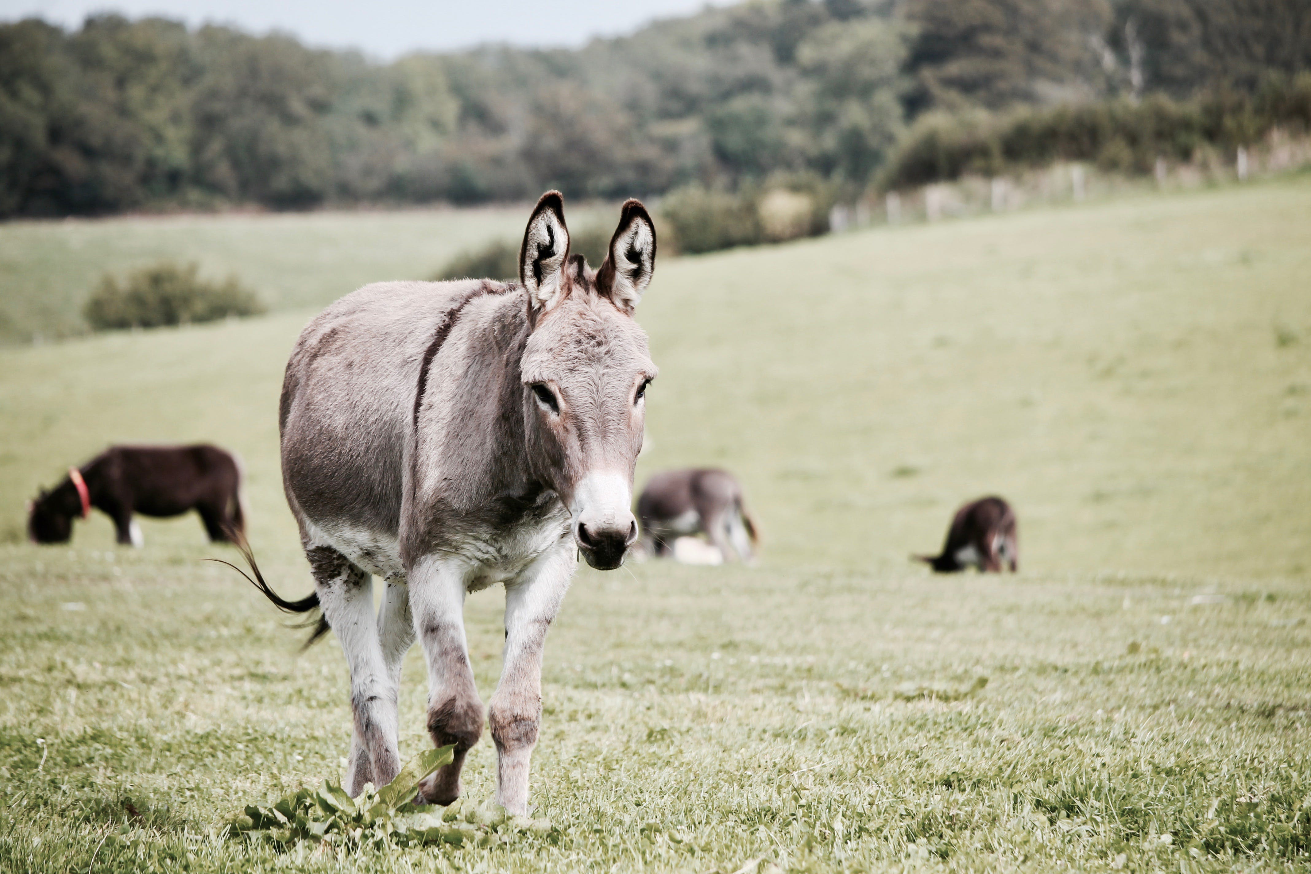 Gray Donkey on Grass