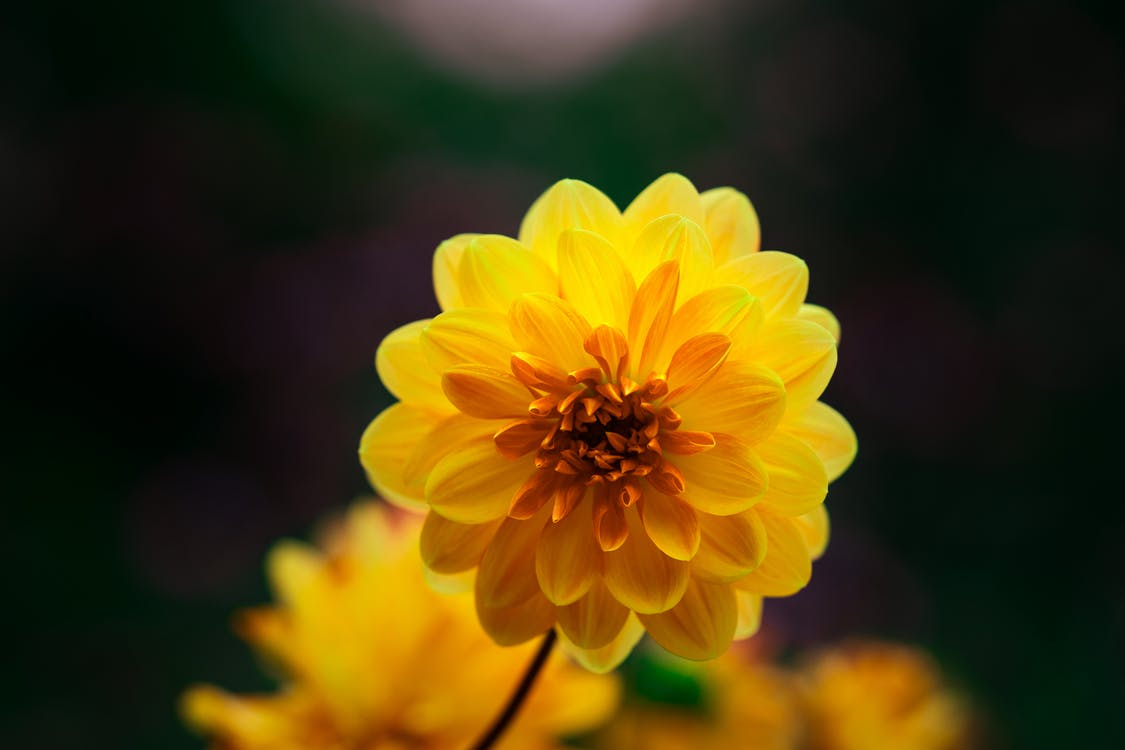 Vivid yellow blooming dahlia flower growing in lush garden in summer on blurred background