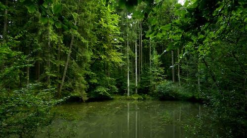 Foto d'estoc gratuïta de aigua, boscos, callat, verd
