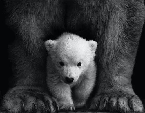 คลังภาพถ่ายฟรี ของ การถ่ายภาพสัตว์, ขน, ขาวดำ, ความเป็นป่า