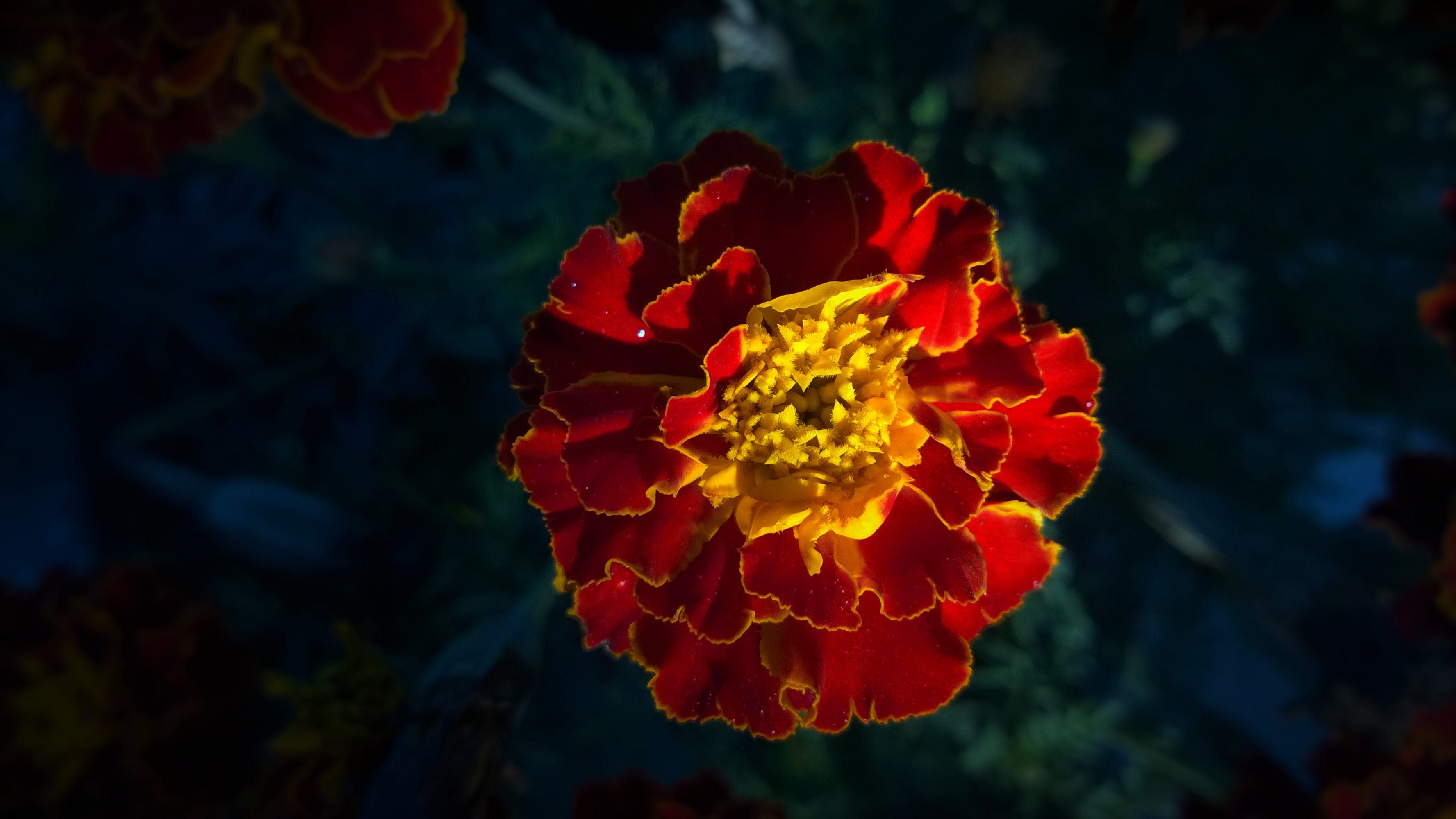 Red and Yellow Full Bloomed Flower