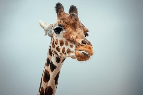 Giraffe against cloudless sky in nature