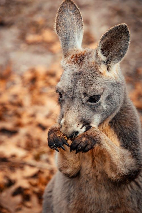 Kostenloses Stock Foto zu außerorts, australien, behaart