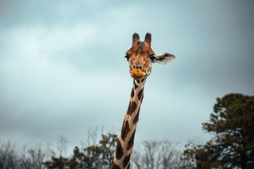 Giraffe with long neck in nature