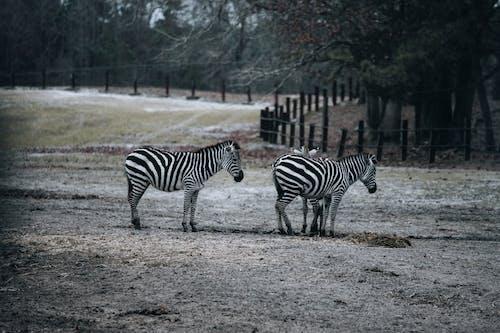 Zebras grazing in pasture in reserve
