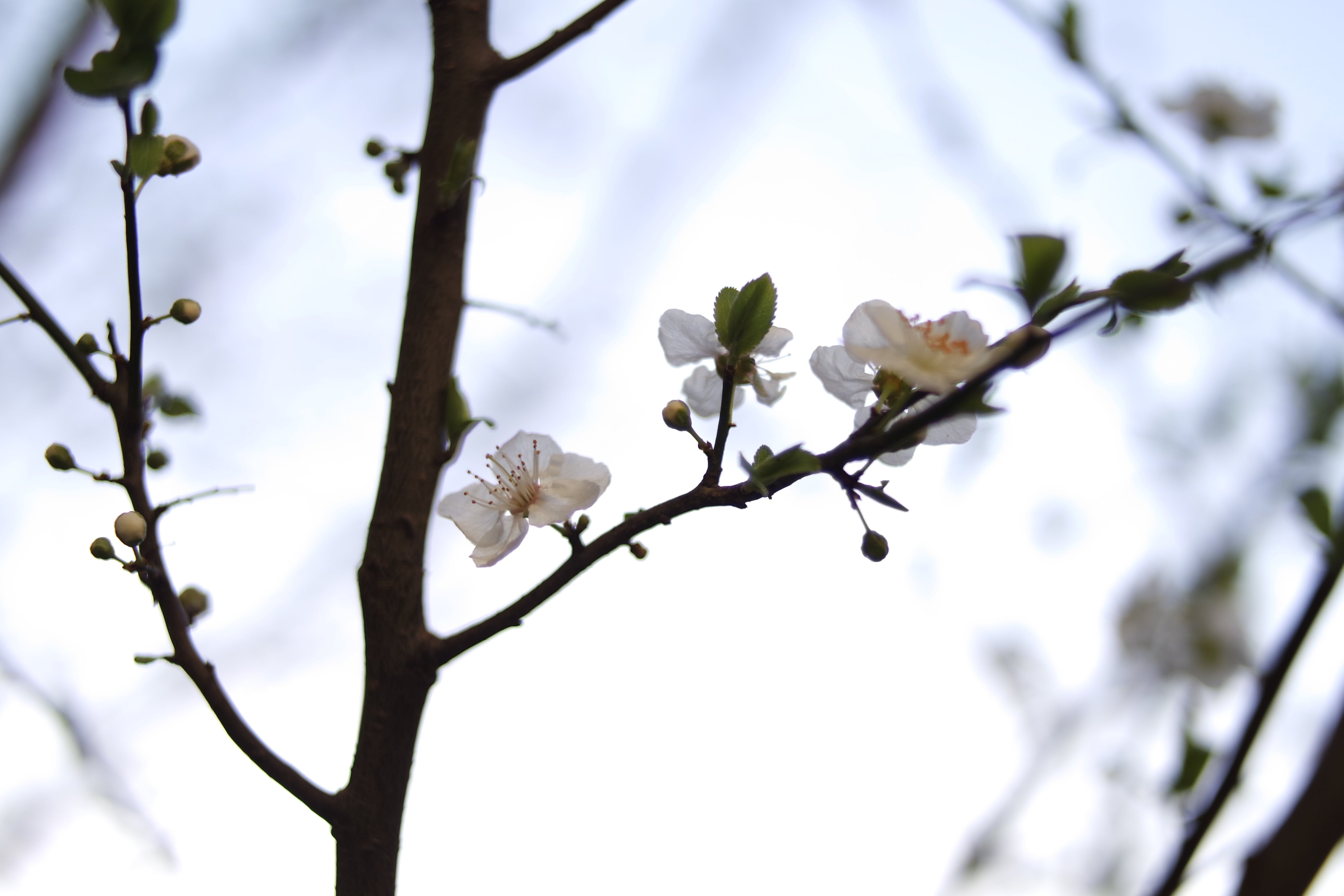 branches, cherry blossom, flora