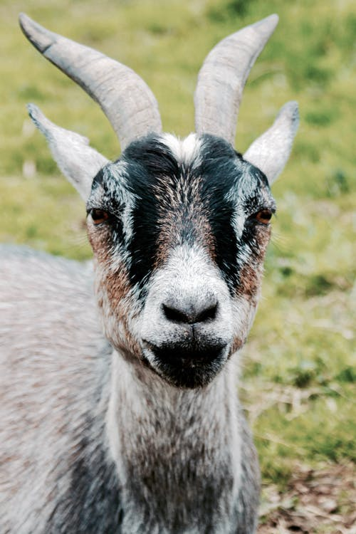 Gray and Black Goat