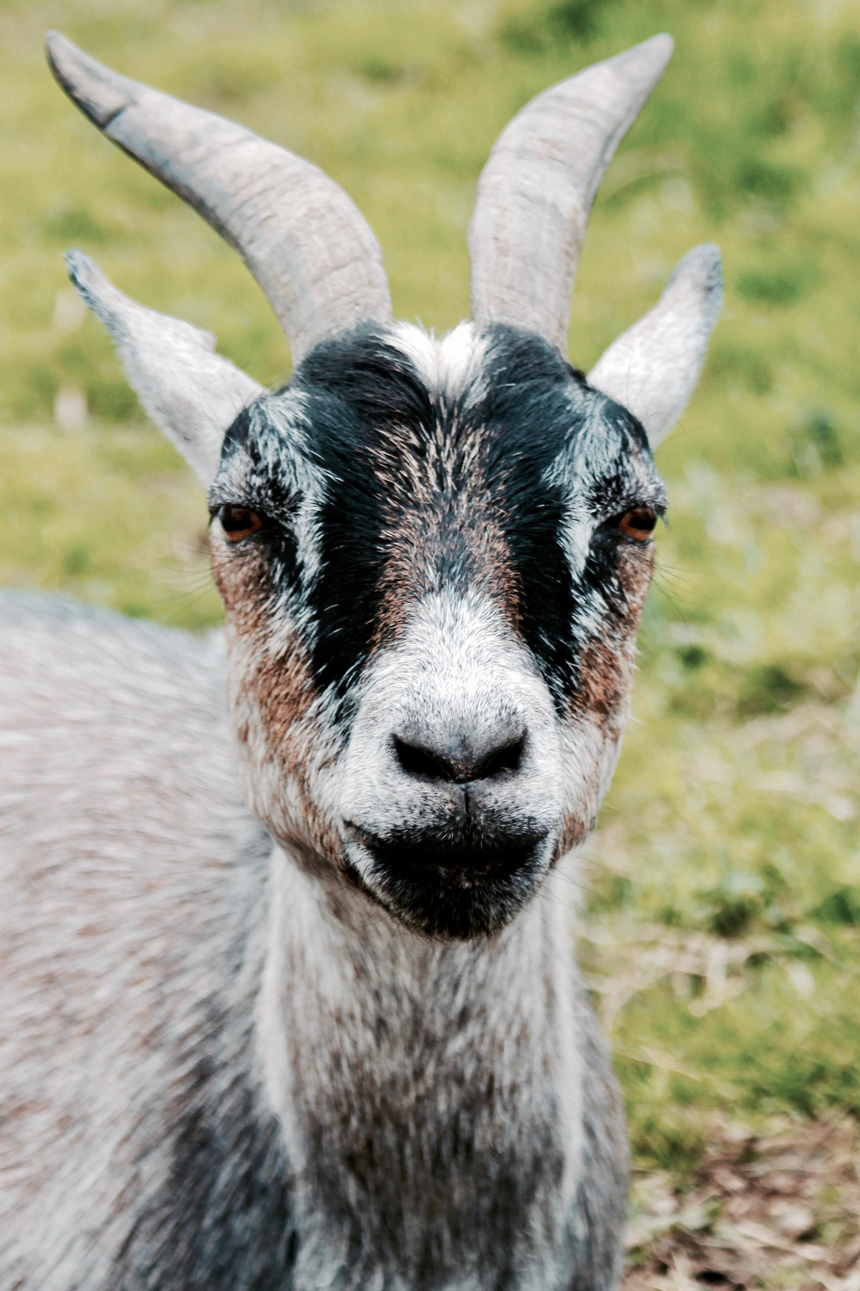 Brown Ram Goat · ...