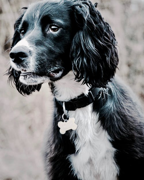 Adult Black and White Spaniel