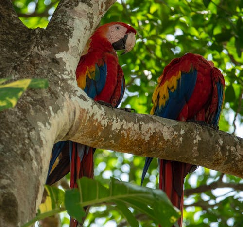 Two Blue and Red Parrots on Brown Tree Branch