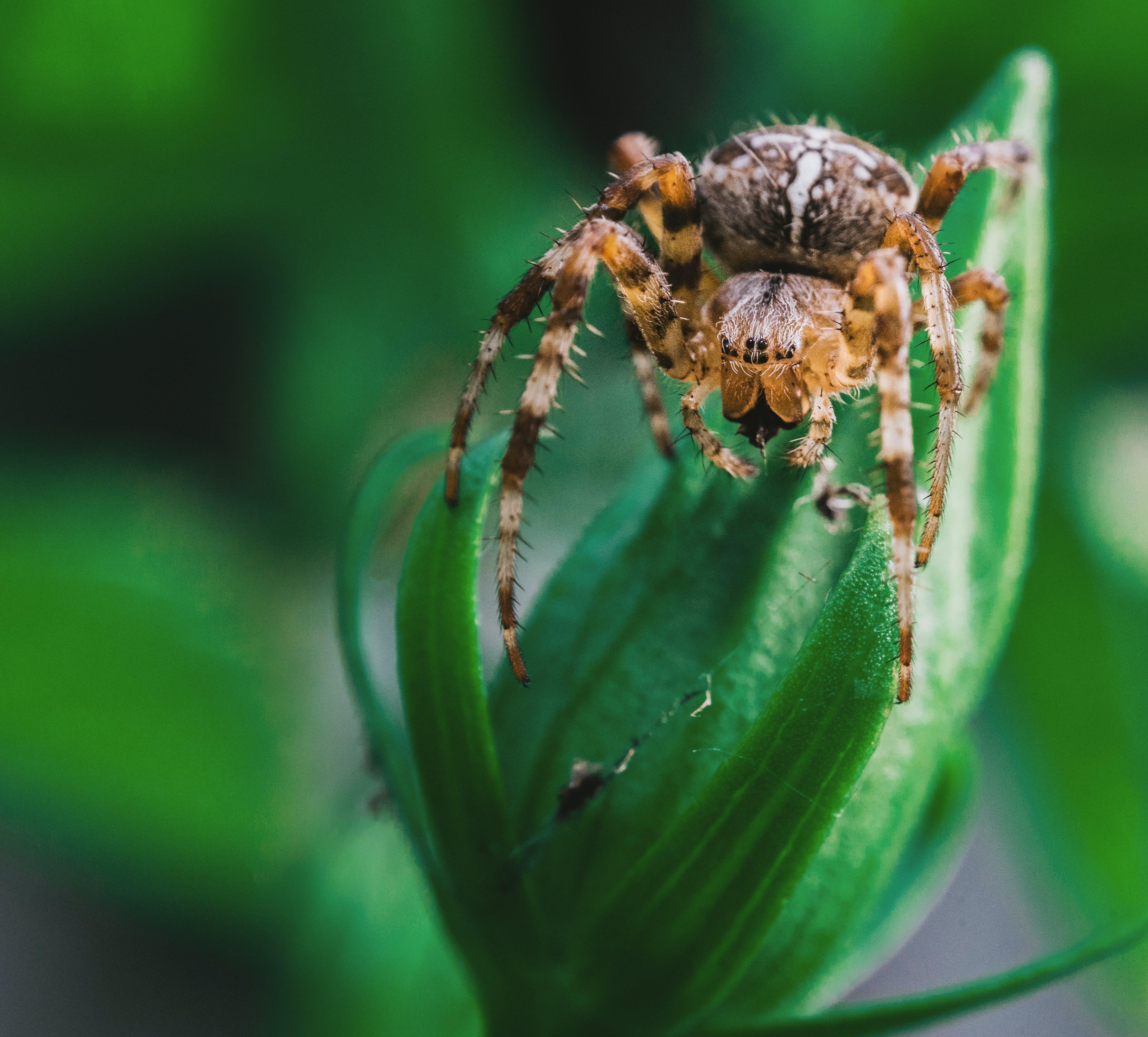 Ingyenes stockfotó hátborzongató, makró, pók, pókféle témában