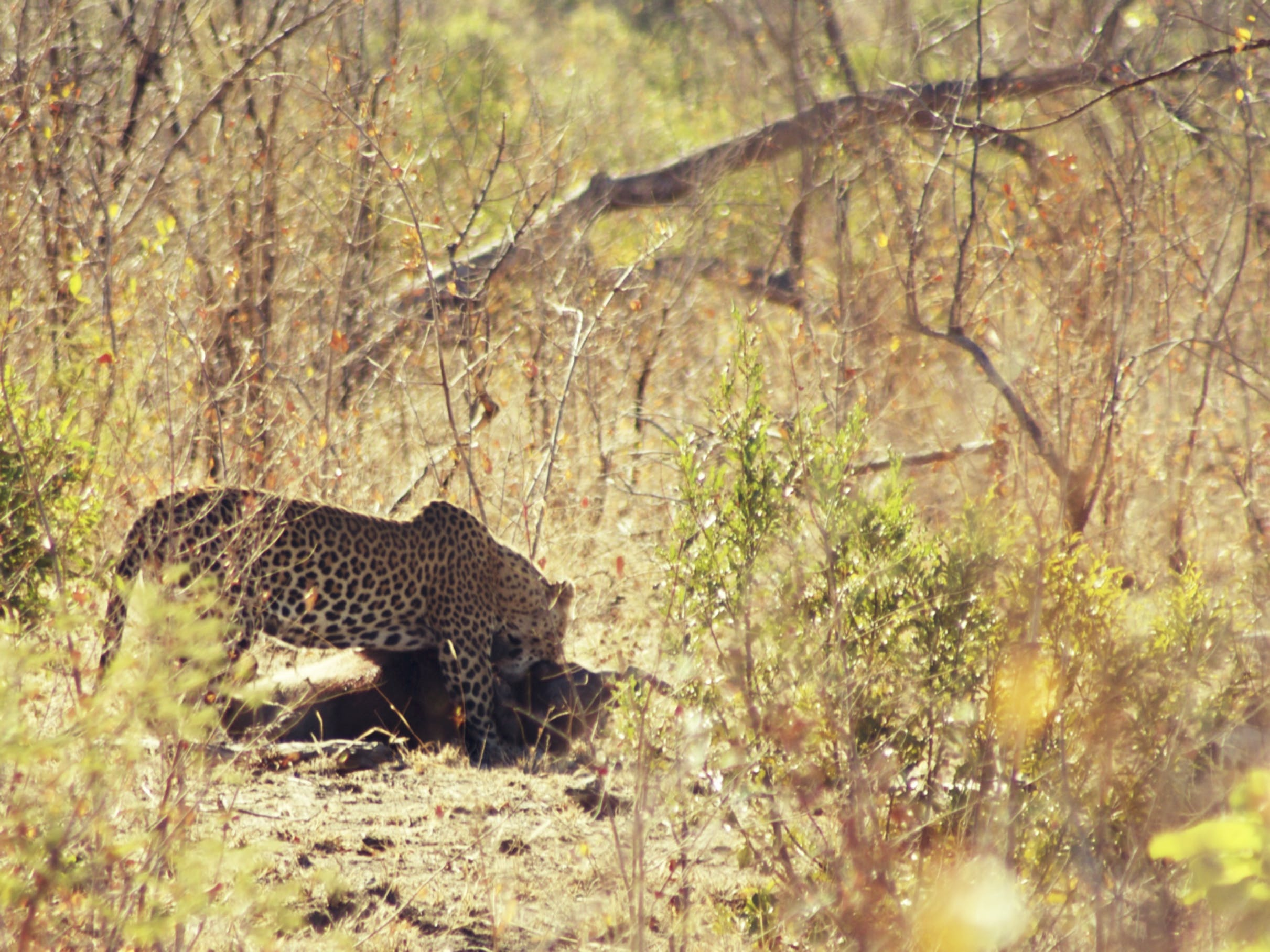 Free stock photo of kruger national park, leopard, south africa
