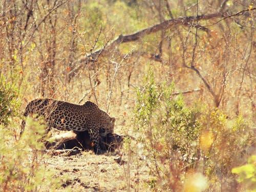 Güney Afrika, kruger ulusal parkı, leopar içeren Ücretsiz stok fotoğraf