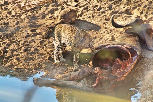 克鲁格国家公园, 南非, 豹 的 免费素材照片