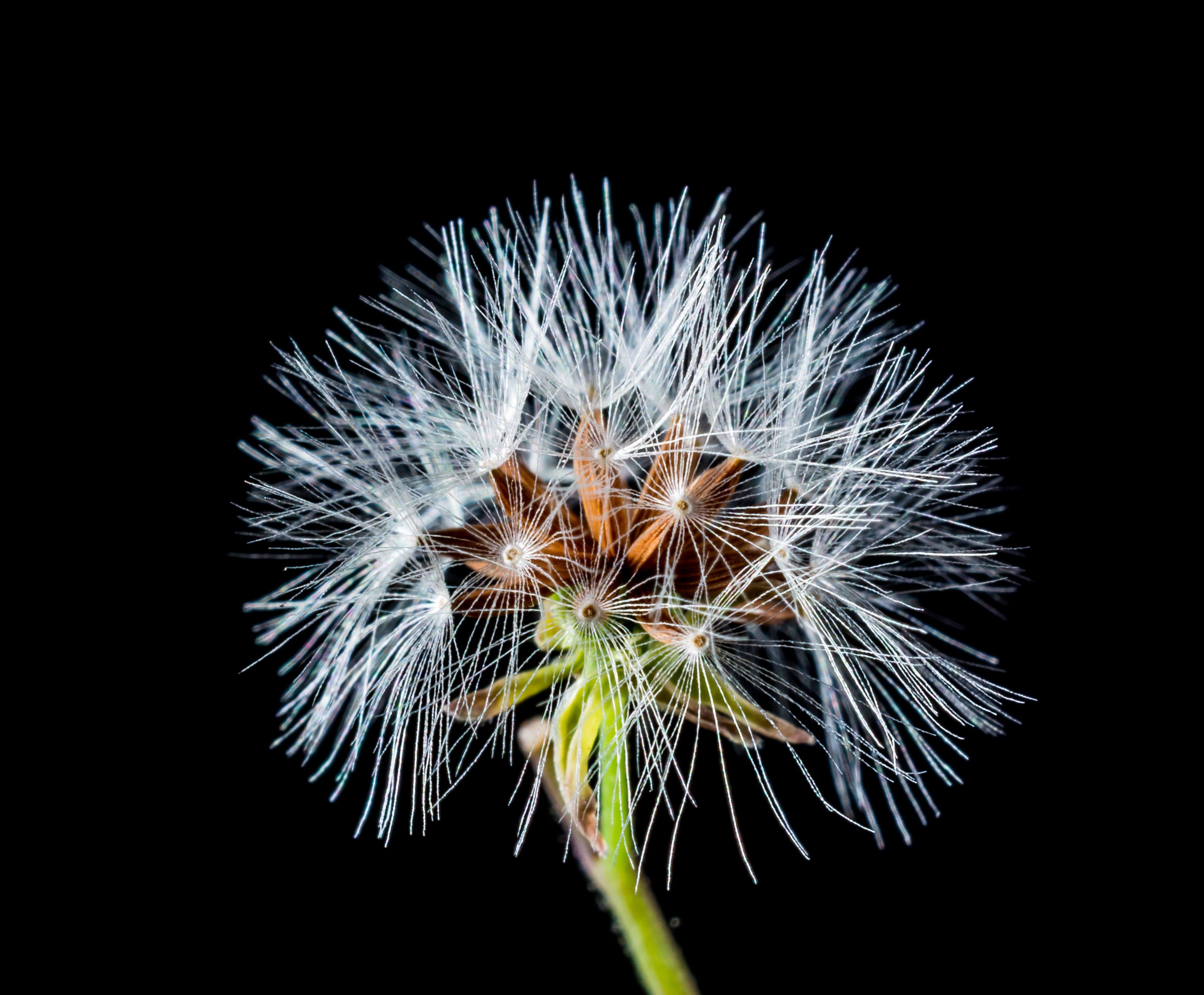 Kostenloses Stock Foto zu löwenzahn, makro, pflanze