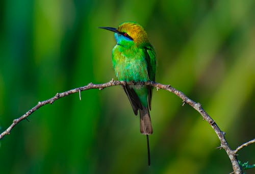 Wild green bee eater with black line on head sitting in leafless twig of tree in nature with green plants on blurred background
