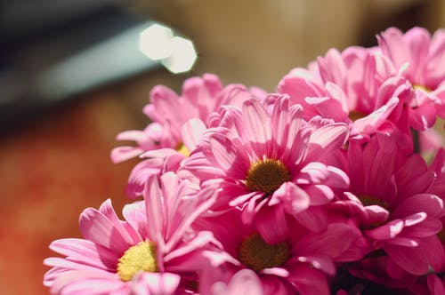 Closeup of bright pink flowers growing together in flowerbed in garden in sunny day