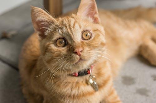 Oranje Cyperse Kat Die Dichtbij Meubilair Ligt