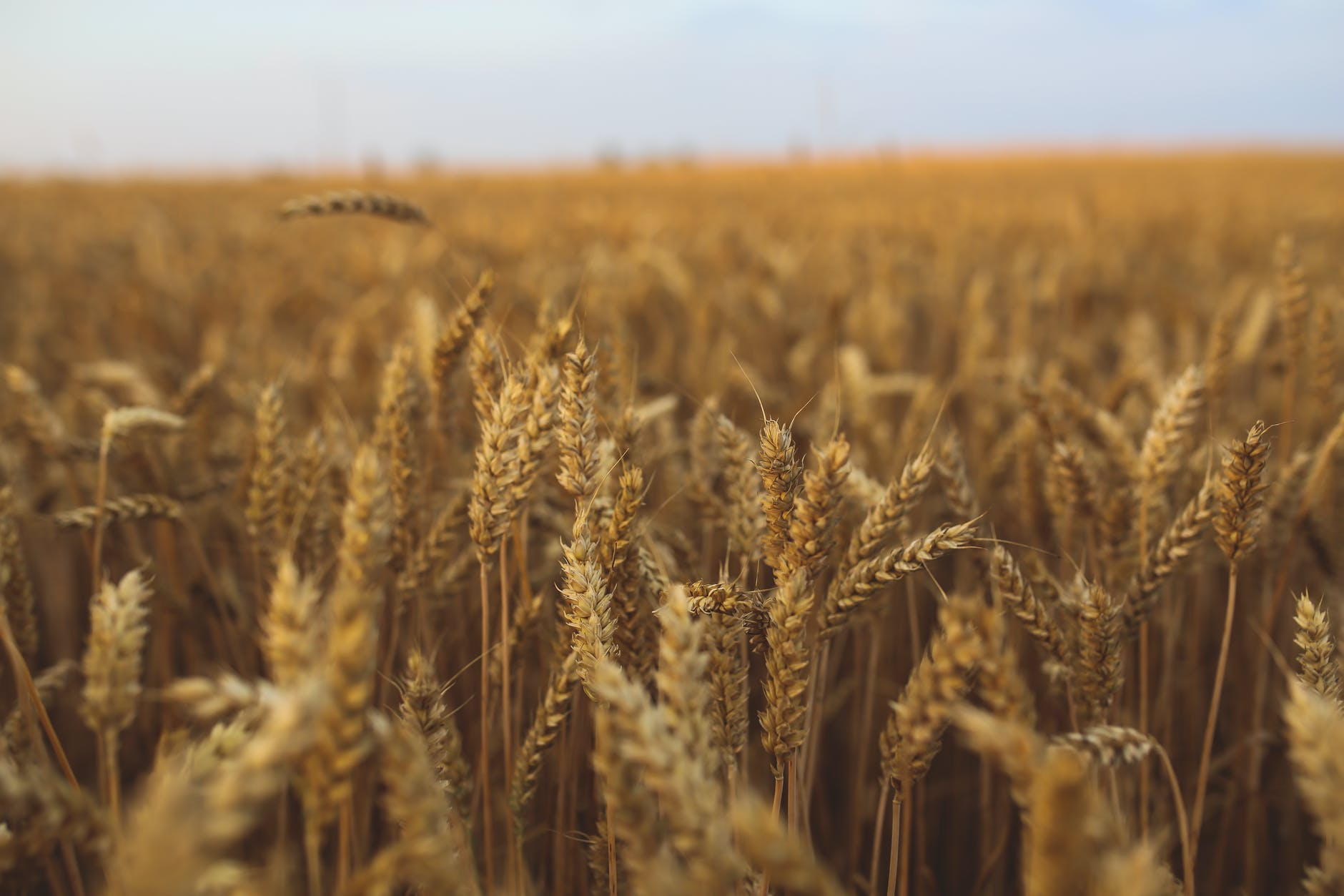 Поле пшеницы. Фото носит иллюстративный характер