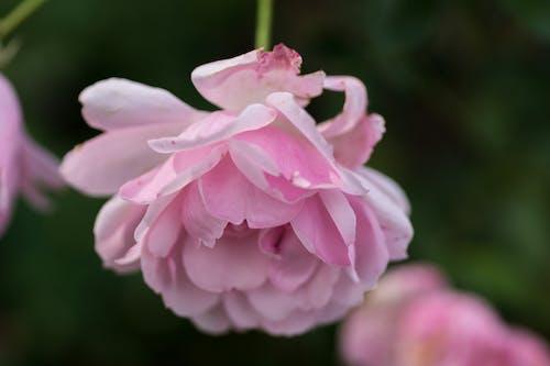Free stock photo of beautiful flowers, flowers, rose