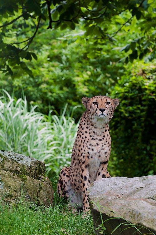 Gratis stockfoto met beest, cheetah, dieren in het wild, kat