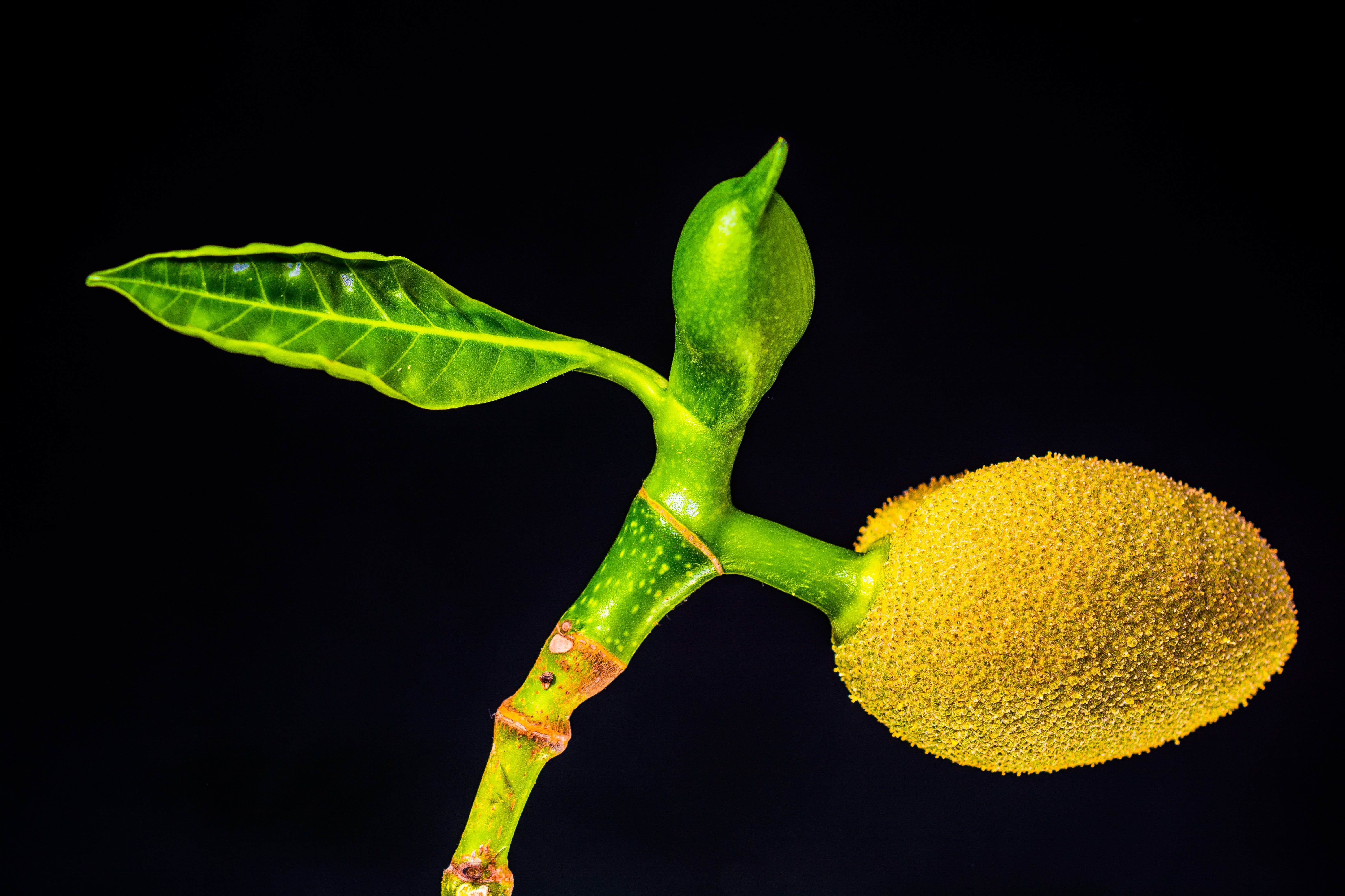 Single Leaf on Plant and Yellow Fruit