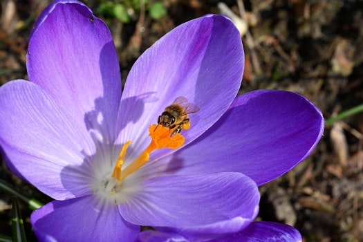 Bee on Purple Petaled Flower