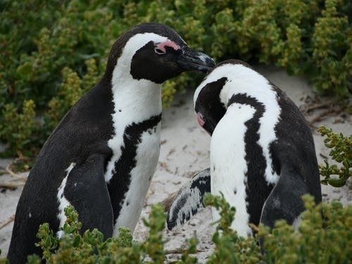Two Adorable Penguins