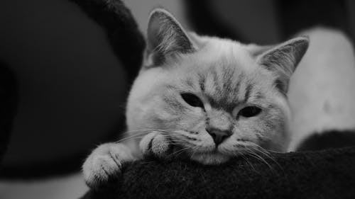 Grayscale Photo of Cat Lying on Textile