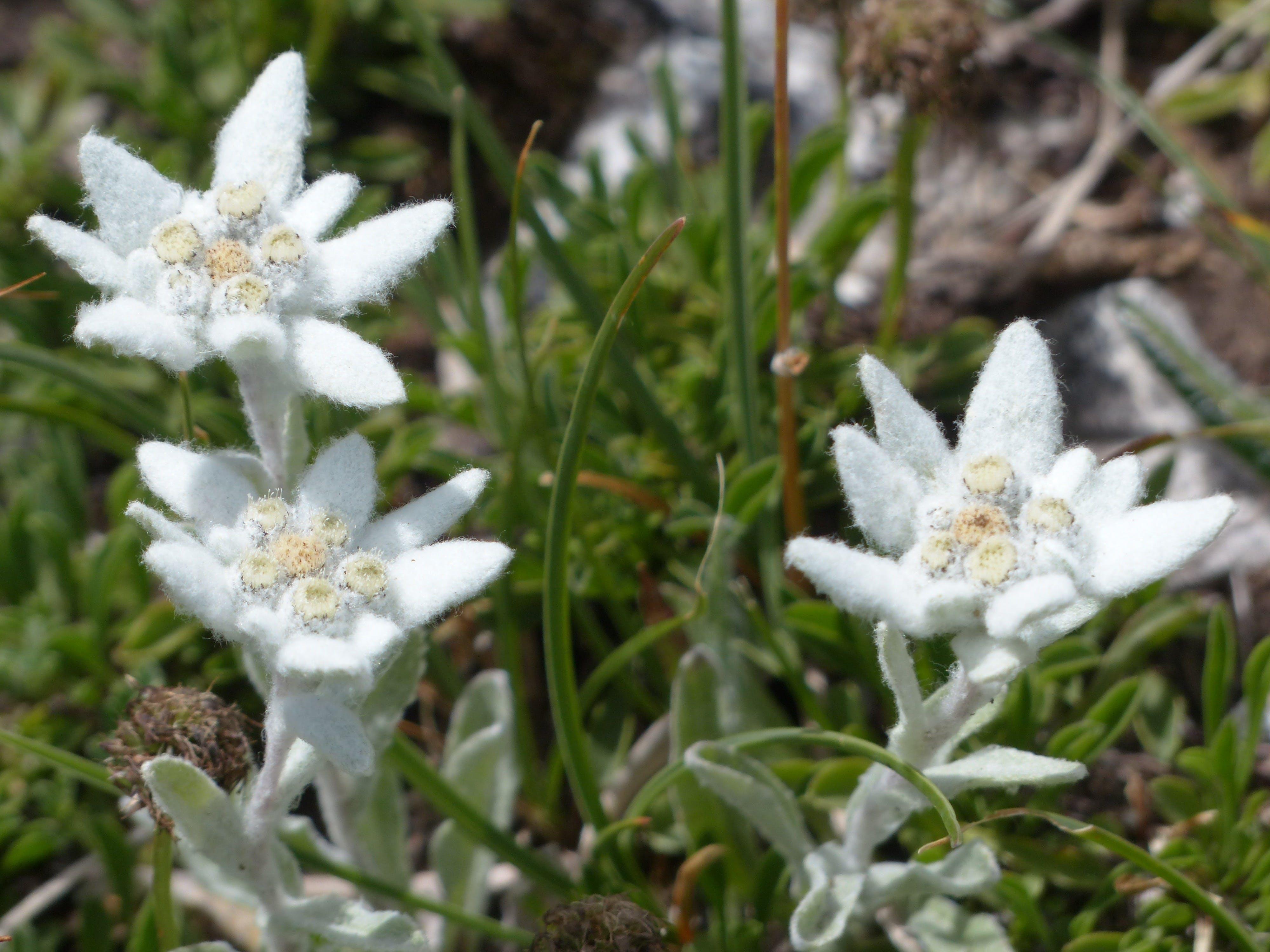 Free stock photo of alpine, alpine edelweiß, alpine flower, asteraceae