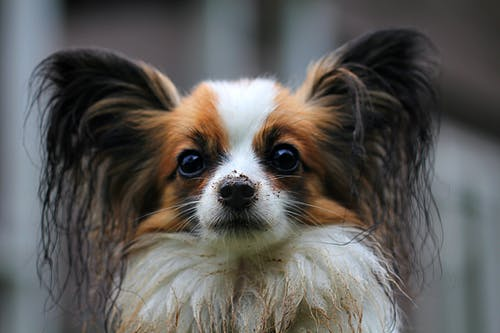 White Brown Long Coat Small Dog