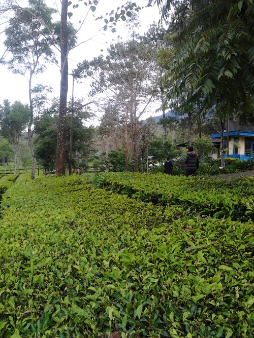 Free stock photo of garden, garut, kidzgn, plantation