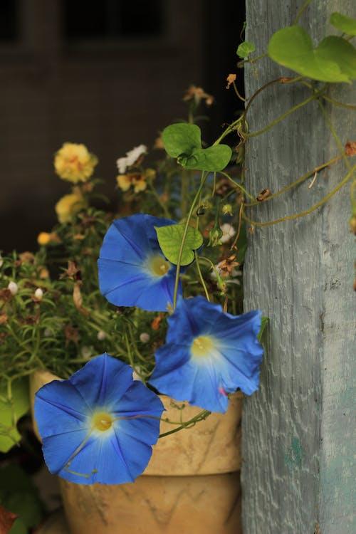 Free stock photo of bell flower, blue flowers, flower, morning glories