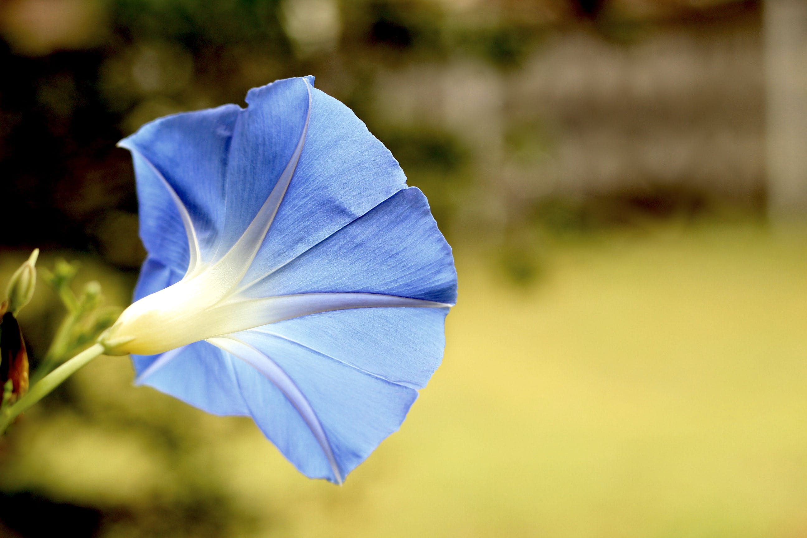 Blue Morning Glory Flower Blooming