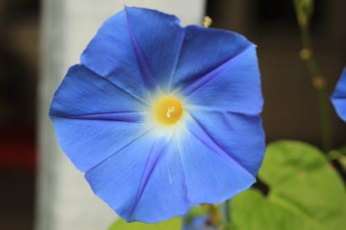 Free stock photo of bell flower, blue flower, flower, morning glory