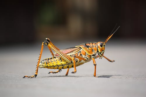 Ingyenes stockfotó HD-háttérkép, makró, rovar, szöcske témában