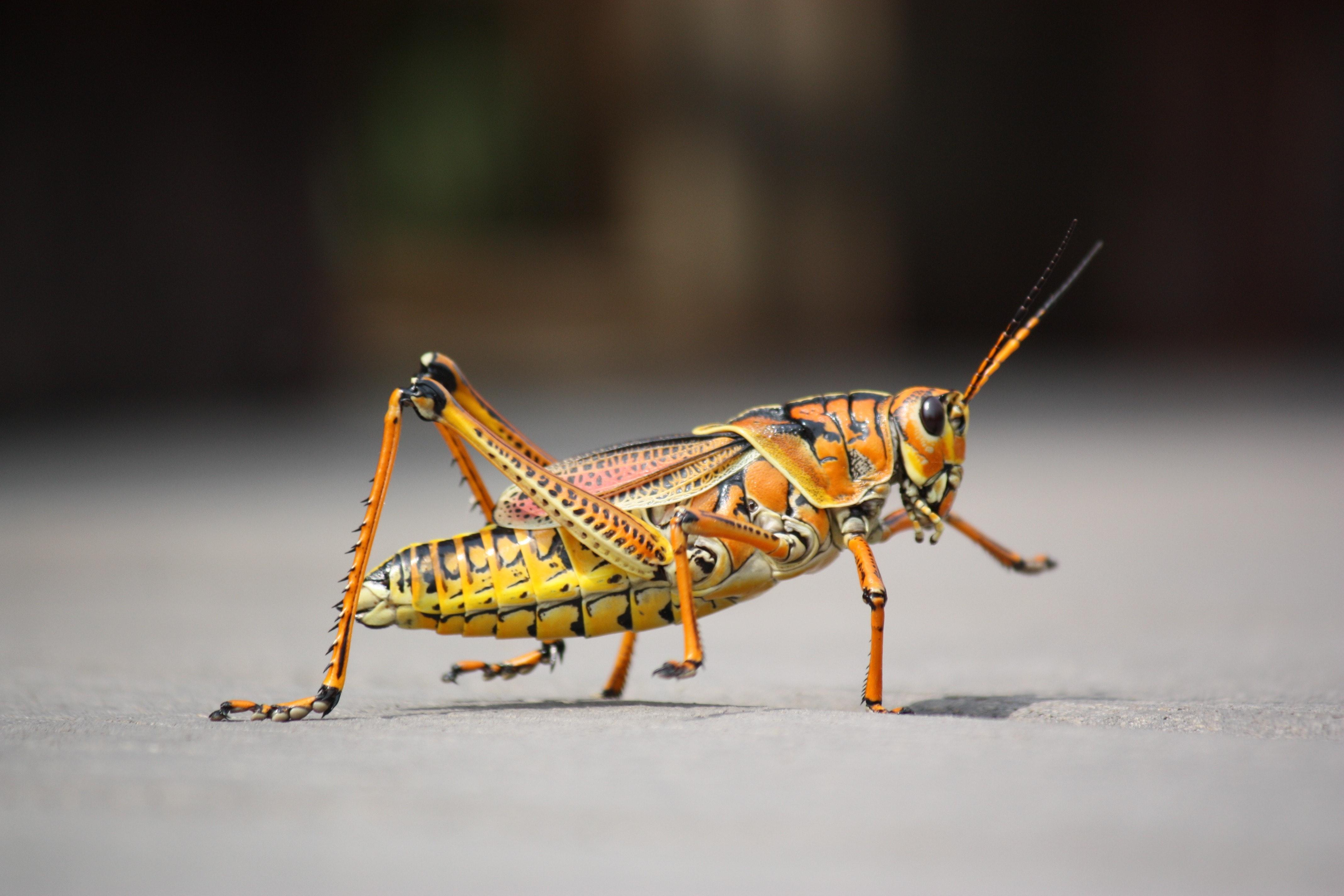 macro photography of orange grass hopper · free stock photo