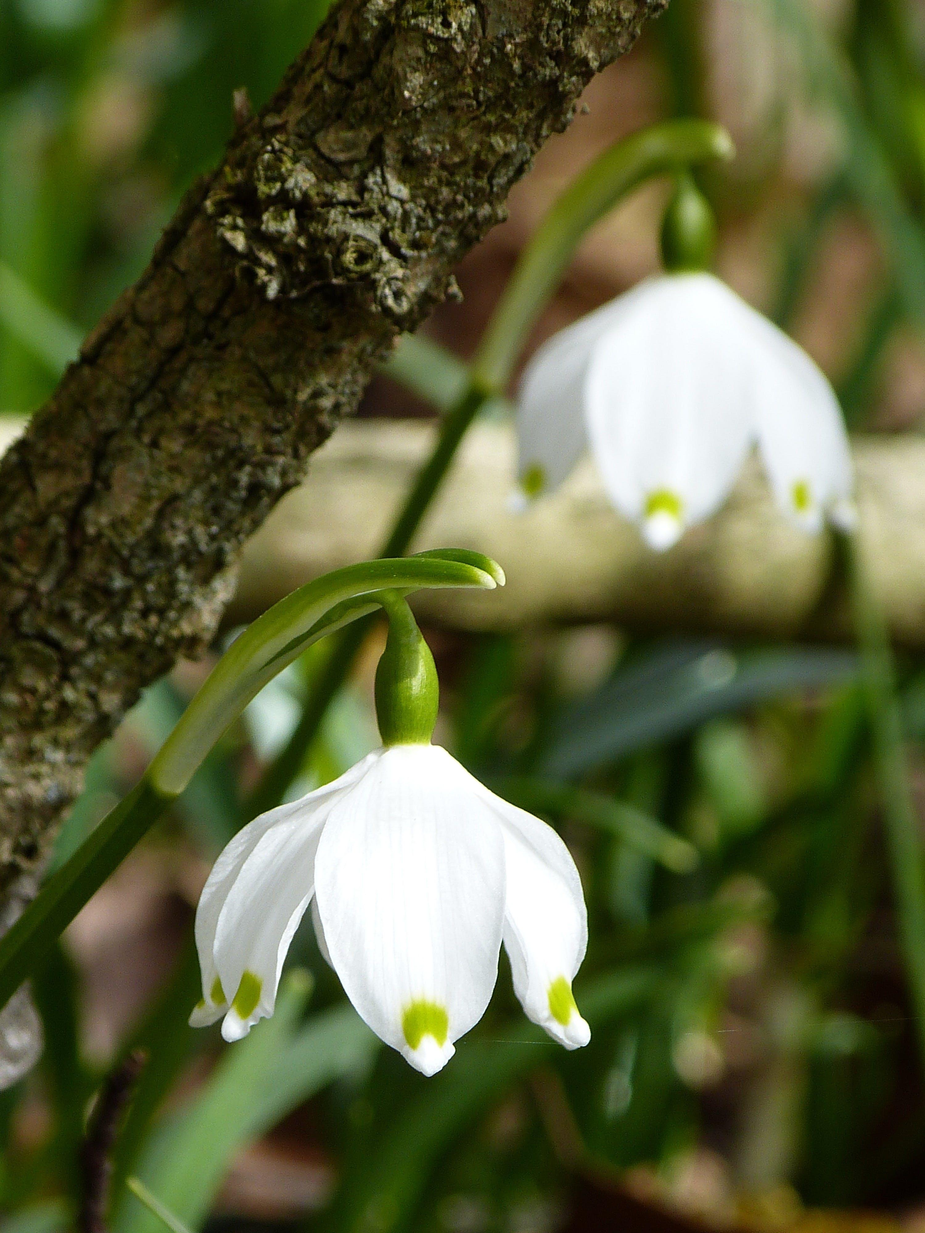 White Down Facing Flower