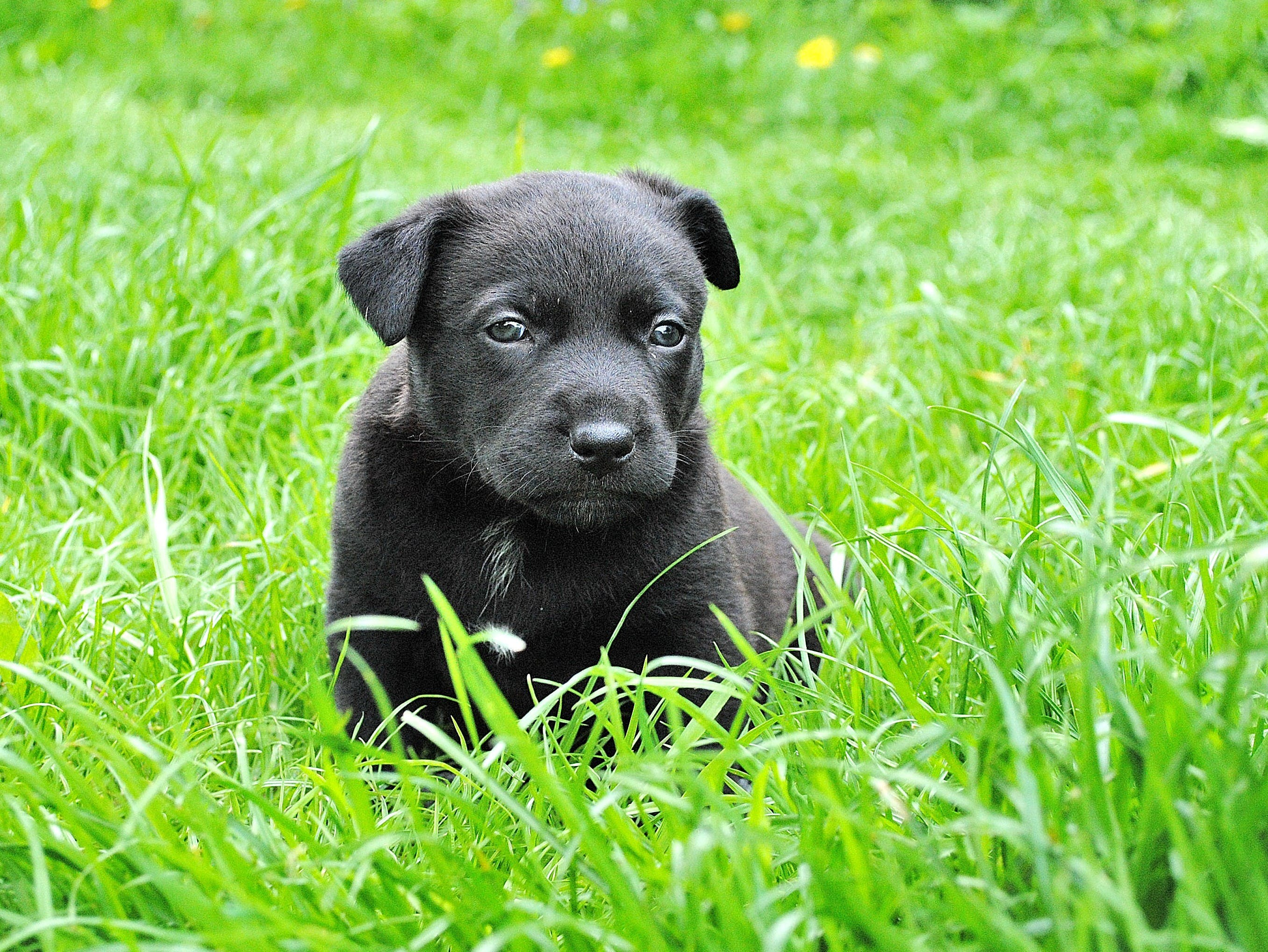 Black Labrador Retriever Puppy on Grass Field
