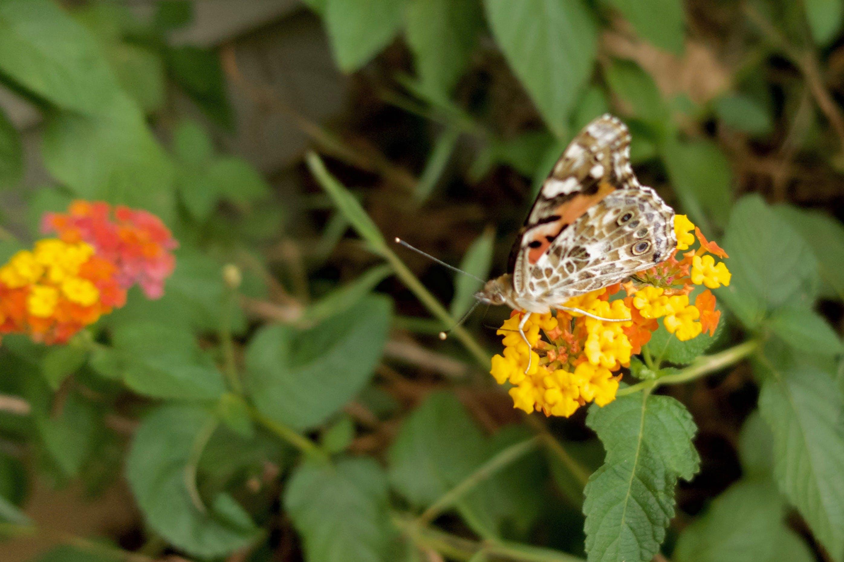 Free stock photo of butterflies, butterfly, flowers