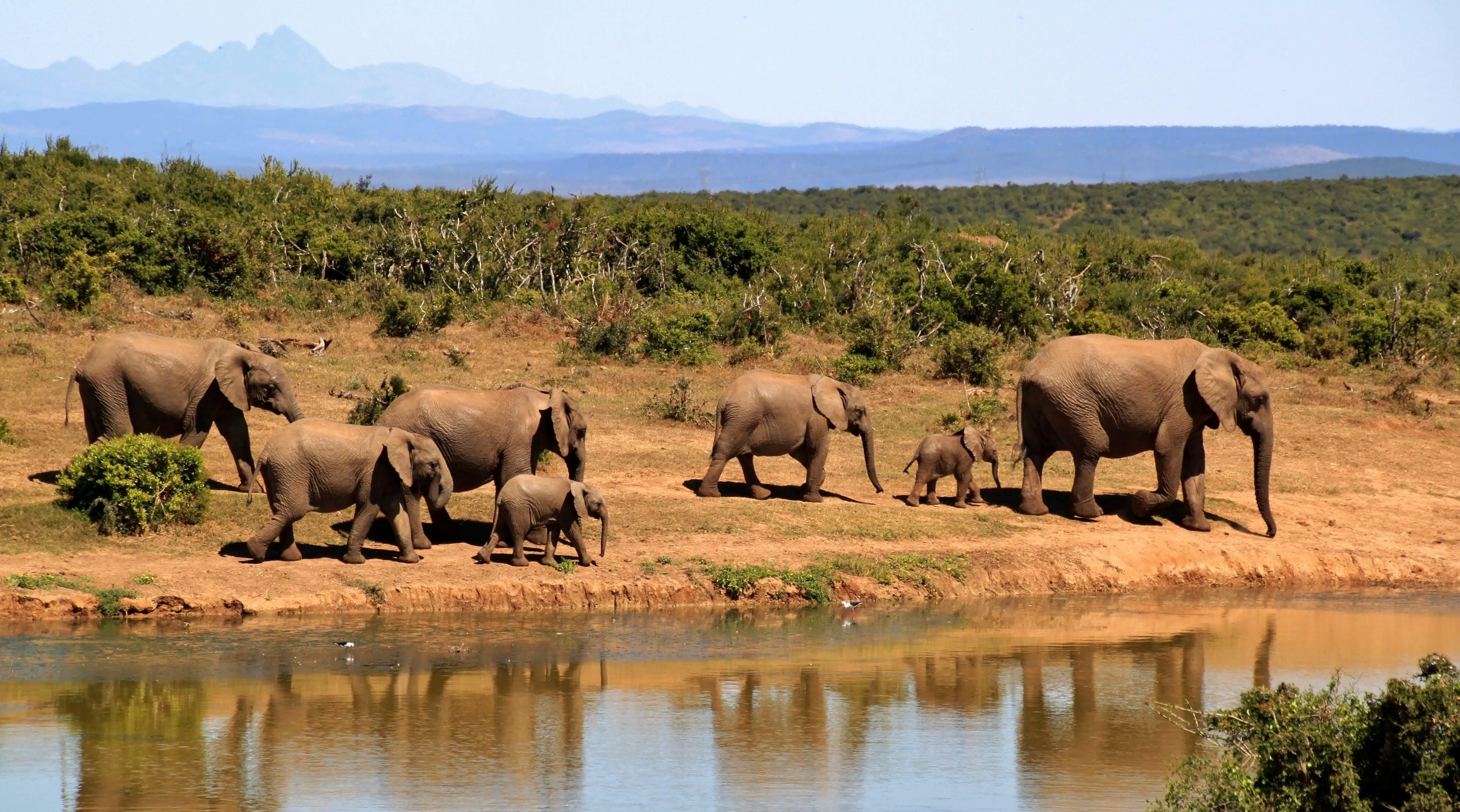 7 Elephants Walking Beside Body of Water during Daytime