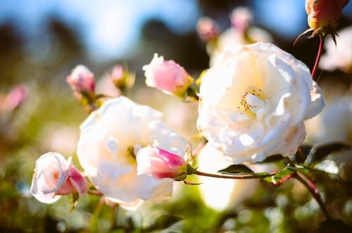 คลังภาพถ่ายฟรี ของ bruno scramgnon fotografia, rosedal, ความสงบ, ดอกไม้