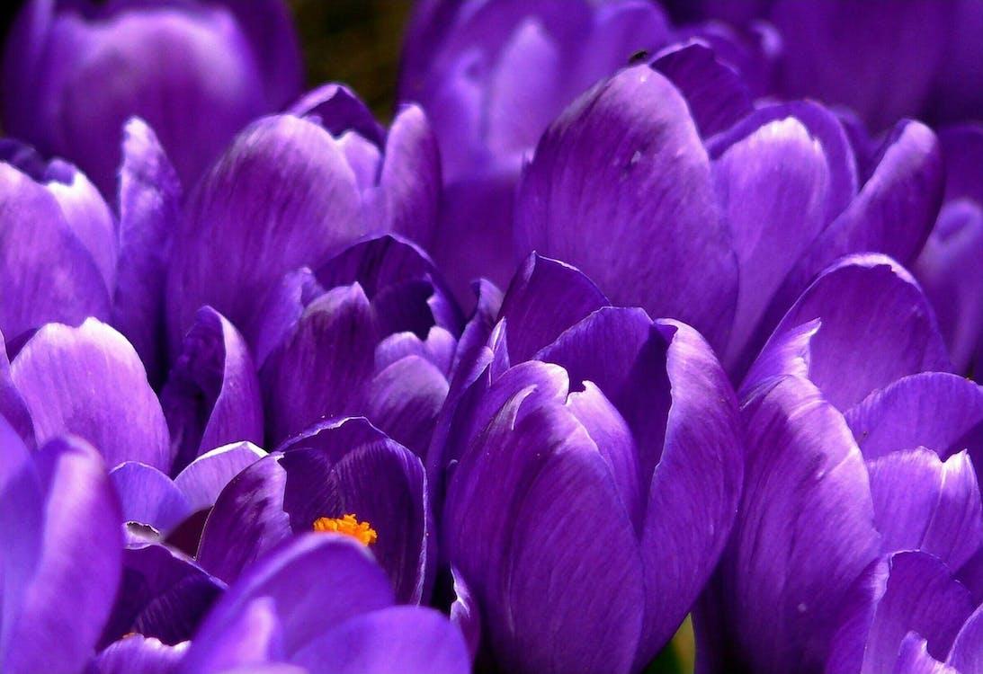 detailný záber, fialová, flóra