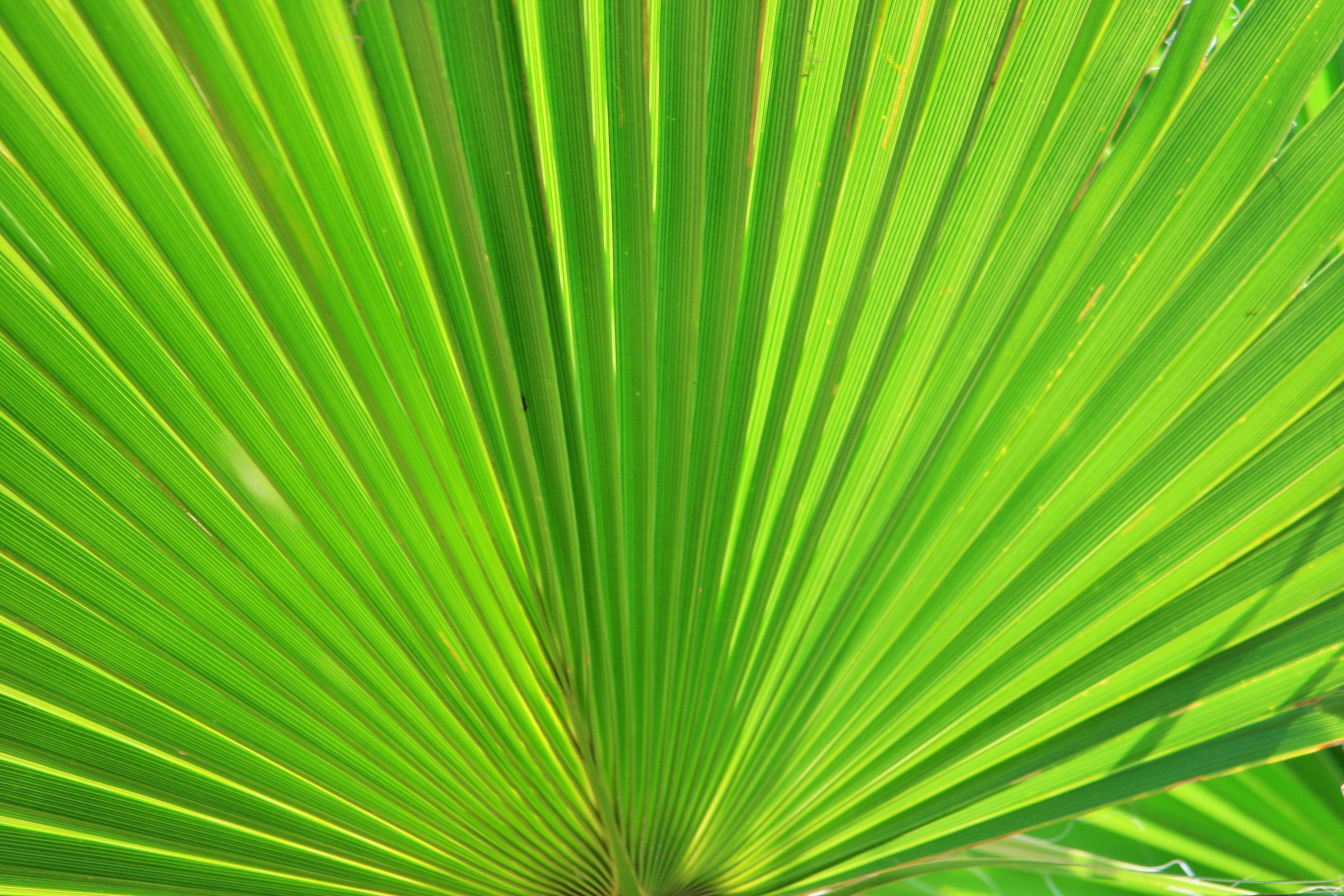 Kostenloses Stock Foto zu fächerpalme, grün, pflanze