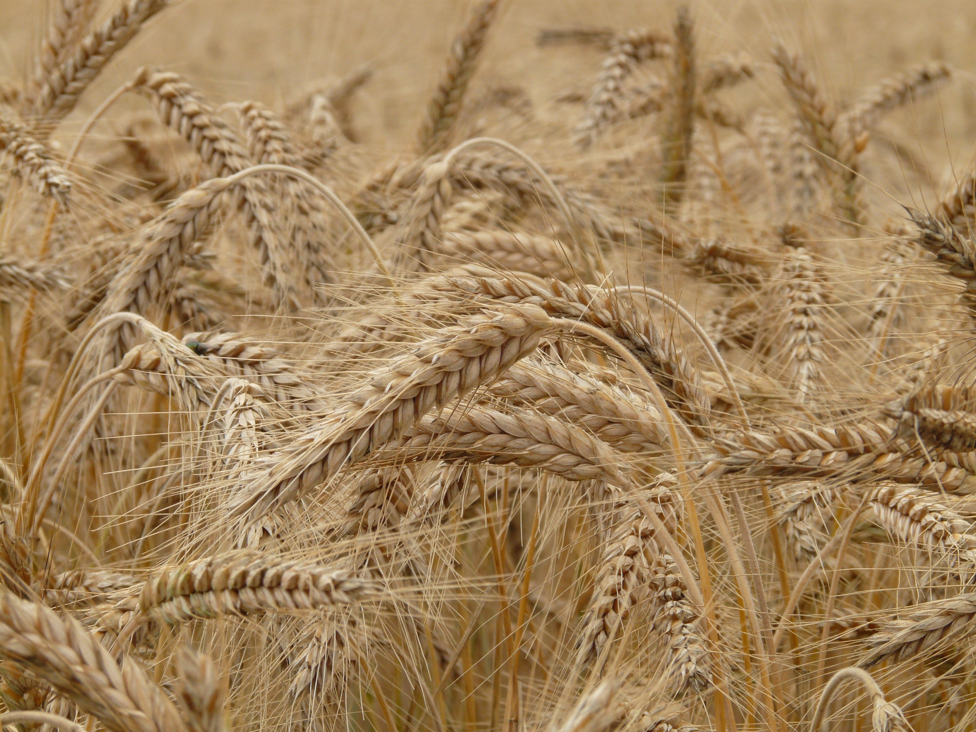Kostenloses Stock Foto zu feld, pflanze, korn, weizen