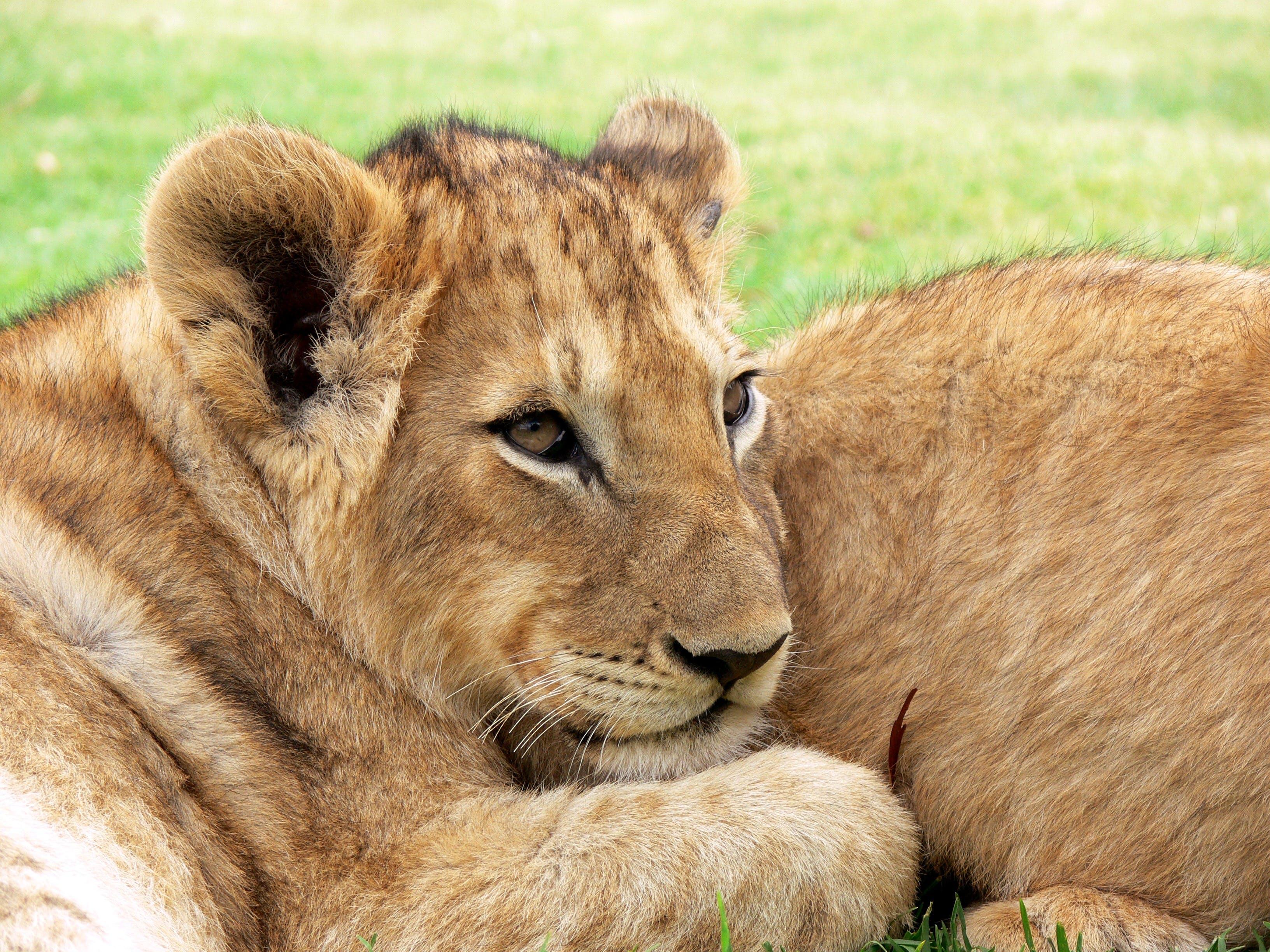 Fotos de stock gratuitas de animal, cachorro, fauna, león
