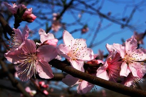 Imagine de stoc gratuită din floare, floare de prun, floră, flori